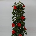 Hibiscus Column Assorted