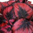 Begonia rex 'Red Kiss'