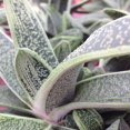 Gasteria 'Little Warty'