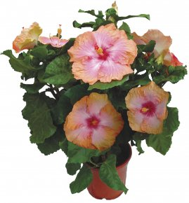 Foliera old world quality new age technology for Engrais hibiscus exterieur