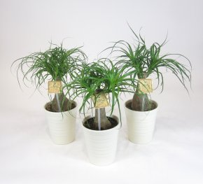 Foliera old world quality new age technology for Ponytail palm cats
