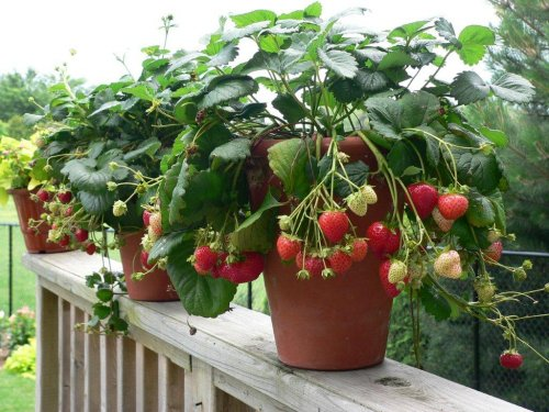 how to fertilize strawberry plants in the spring