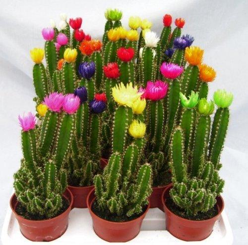 Moon Cacti Cactus Plants Fairy Castle Cactus Plants