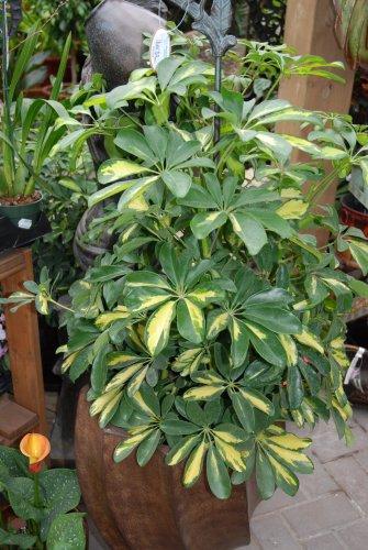 Foliera old world quality new age technology - Schefflera variegata ...