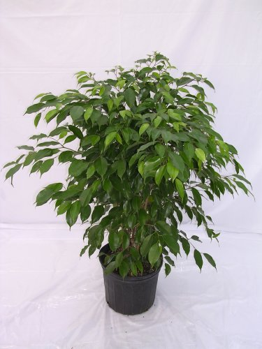Foliera old world quality new age technology for Ficus benjamina exterieur
