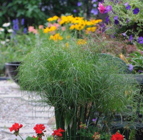 Plante papyrus exterieur excellent papyrus plante with for Plante verte japonaise