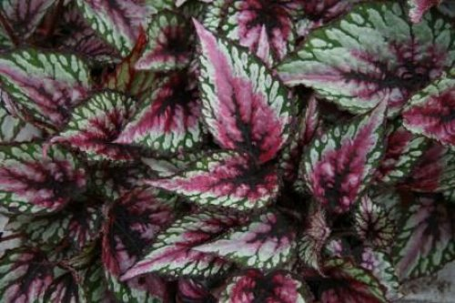 Foliera old world quality new age technology - Begonia d interieur arrosage ...