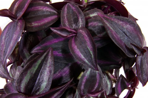Foliera old world quality new age technology for Tradescantia zebrina
