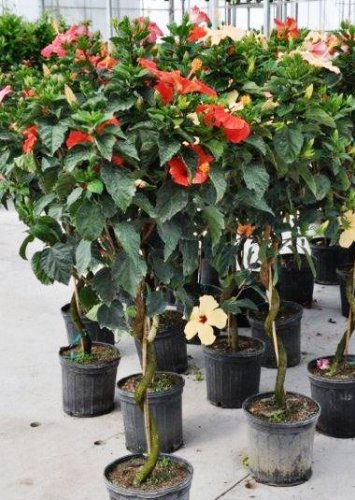 Foliera old world quality new age technology for Arrosage hibiscus exterieur