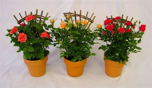 Foliera old world quality new age technology - Mini rosier en pot ...