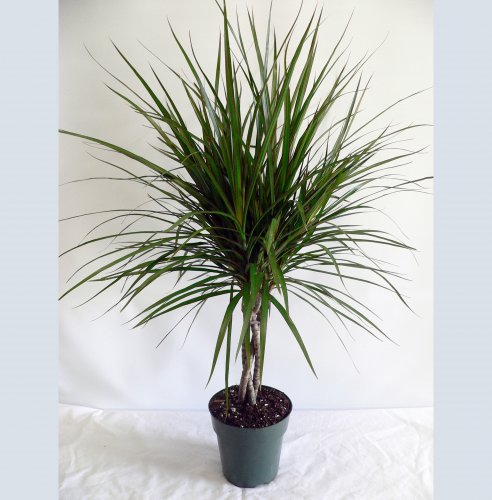 Foliera old world quality new age technology for Dracaena marginata
