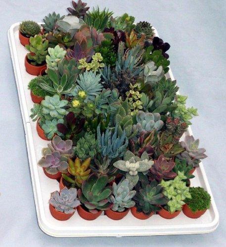 plante grasse 6 lettres