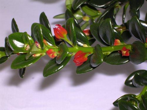 nematanthus gregarius goldfish plant. Goldfish nematanthus gregarius