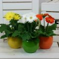 U7275 – Gerbera in Lisa pot