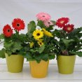 U7074 - Gerbera Assorted 4,5""