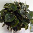 Peperomia Red Princess
